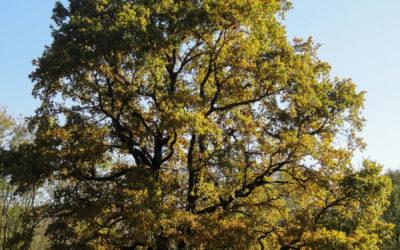 Le Grand Chêne, l'arbre aux mille saisons
