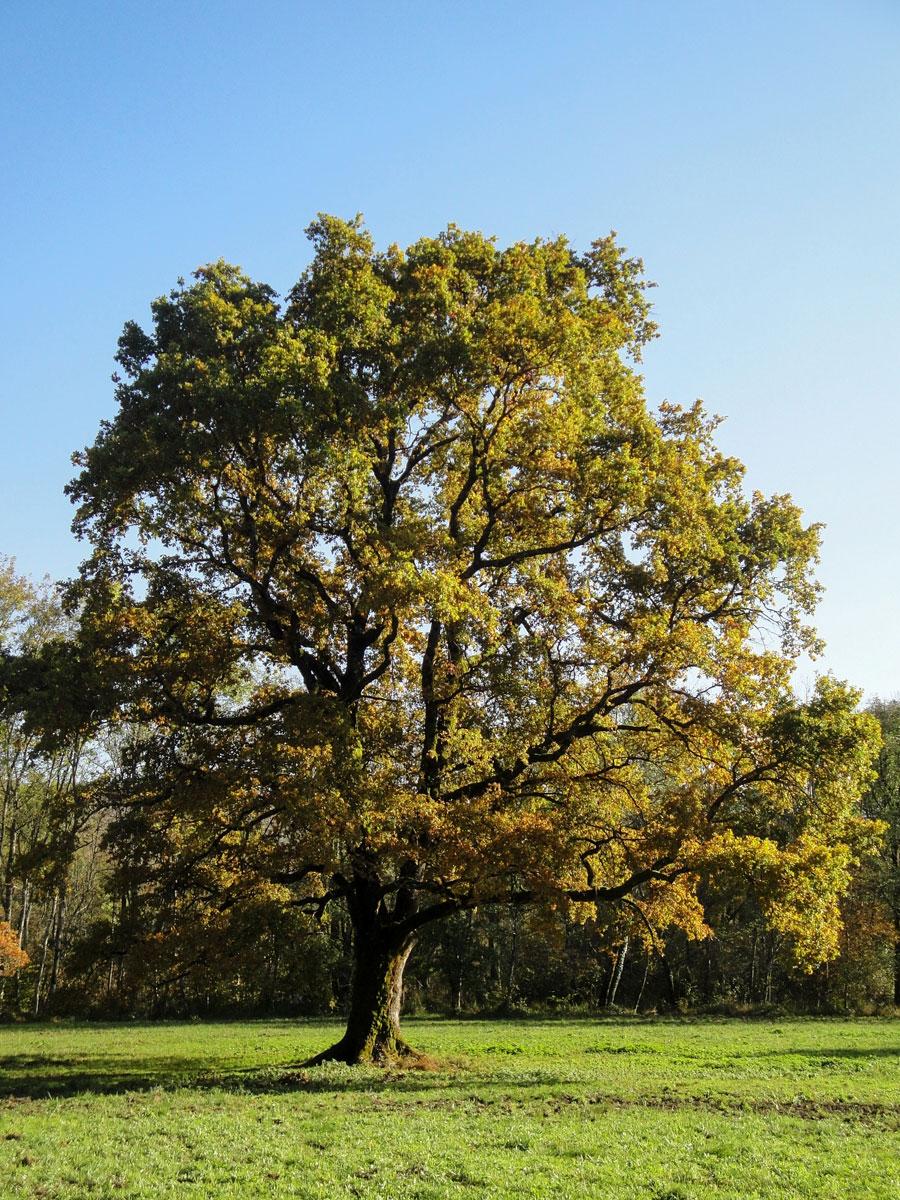 Le grand chêne du Bout du Lac